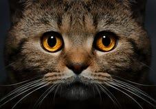 Portrait of Scottish Straight cat Royalty Free Stock Photos
