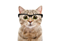 Portrait of a Scottish Straight cat with glasses Stock Images