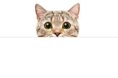 Portrait of a Scottish Straight cat peeking from behind a banner Royalty Free Stock Photos