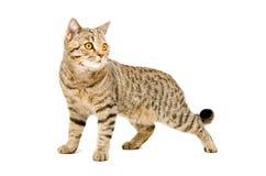 Portrait Scottish Straight cat Royalty Free Stock Image