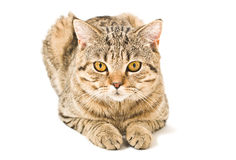 Portrait of a Scottish Straight cat Royalty Free Stock Photography