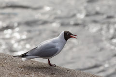 Portrait of screaming seagull Stock Photography