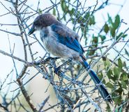 Portrait of a Scrubjay royalty free stock images