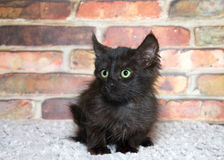 Portrait of a scruffy black kitten looking surprised. One small scruffy black kitten with bright green eyes laying on a grey blanket looking to viewers left Royalty Free Stock Images