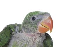 Portrait of a Scruffy Chick. A close up of a hand reared Alexandrine Parakeet on a white background, with scruffy, patchy feathers Royalty Free Stock Photos