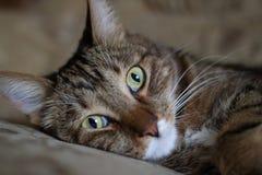 Portrait se trouvant sur le lit d'un chat domestique Photo stock