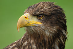 Portrait of a sea eagle Royalty Free Stock Photography