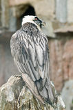 The Portrait of an sea-eagle Stock Photo
