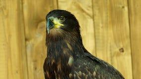 Portrait of sea eagle. Haliaeetus albicilla stock video footage