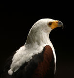 Portrait of a Sea Eagle Royalty Free Stock Image