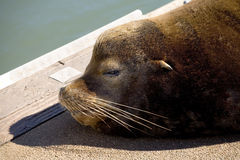 Portrait of sea lion. Side portrait of sleeping sea lion resting on quayside by sea Royalty Free Stock Images