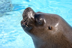Portrait of a sea lion Royalty Free Stock Photography