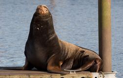 Portrait of Sea lion Royalty Free Stock Photos