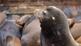 Portrait of a Sea lion at the Sea Lions colony of Pier 39 Royalty Free Stock Photography