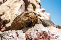 Sea lion sleeping, Islas Ballestas, Paracas Peninsula, Peru. Portrait of a sea lion sleeping, Islas Ballestas, Paracas Peninsula, Peru Stock Image
