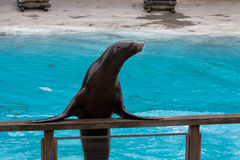 Portrait of a sea lion on top of  barrier Stock Photo