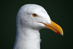 Portrait of a Seagull Stock Images