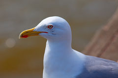 Portrait of a seagull Stock Photography