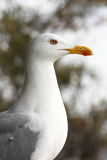 Portrait of a seagull. Portrait of a seagul looking ahead Stock Photos