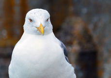 Portrait of seagull Stock Photography