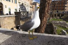 Portrait of a seagull with ancient Roman ruins. In background in Rome, Italy Royalty Free Stock Photos