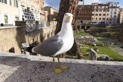 Portrait of a seagull with ancient Roman ruins. In background in Rome, Italy royalty free stock photo