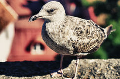 Portrait of a seagull. Portrait of a big seagull looking at the camera Stock Photography