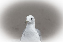 Portrait of a seagull with a dark eye. Sharpness on eyes Royalty Free Stock Images