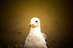Portrait of a seagull with a dark eye. Sharpness on eyes. Tinted Stock Photo