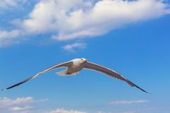 Portrait of seagull flying and looking towards the camera stock photography