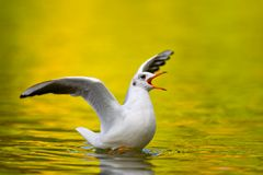 Seagull on lake Royalty Free Stock Photos