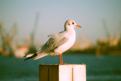 Seagull at the port. Royalty Free Stock Photos