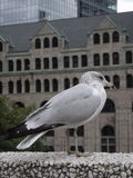 Portrait of a seagull, Montreal. The seagull observes streets of Montreal, Quebec, Canada Royalty Free Stock Photo
