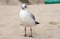 Seagull over the sand royalty free stock photos
