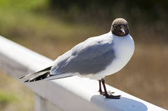 Portrait of a Seagull. Royalty Free Stock Photo