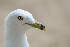 Portrait of a Seagull Royalty Free Stock Photography