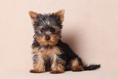 Portrait of a seated puppy Yorkshire Terrier royalty free stock image