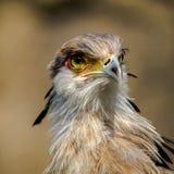 Portrait of a secretary bird. royalty free stock photos