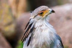 Portrait of a secretary bird stock photo