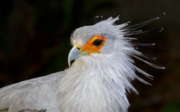 Portrait of a Secretary Bird of Prey Royalty Free Stock Image