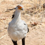 Portrait of a Secretary Bird Stock Photos