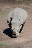Portrait of seemingly unfriendly white Rhino staying in plains o Royalty Free Stock Photos