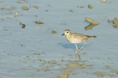 Portrait of a Semipalmated Sandpiper Royalty Free Stock Photography