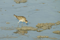 Portrait of a Semipalmated Sandpiper Stock Image