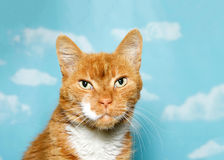 Portrait of a senior cat, orange and white against sky background Royalty Free Stock Photography