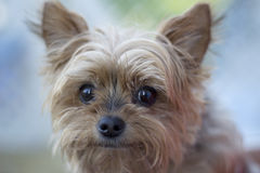 Portrait of a senior dog. Portrait of a cute senior Yorkshire Terrier dog Royalty Free Stock Photography