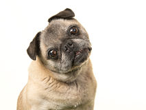 Portrait of a senior dog pug facing the camera and tilting its head. On a white background Stock Photo
