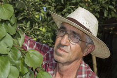 Portrait of a senior farmer checking the apricot in his orchard Stock Photography