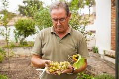 Portrait of senior man harvesting white grapes. royalty free stock photos