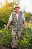 Portrait of a senior man looking at camera in vegetable garden Stock Photos